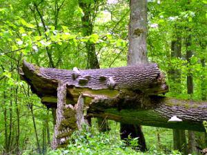 In het oerbos van Bialowieza. Agro Natura natuurreizen Polen specialist