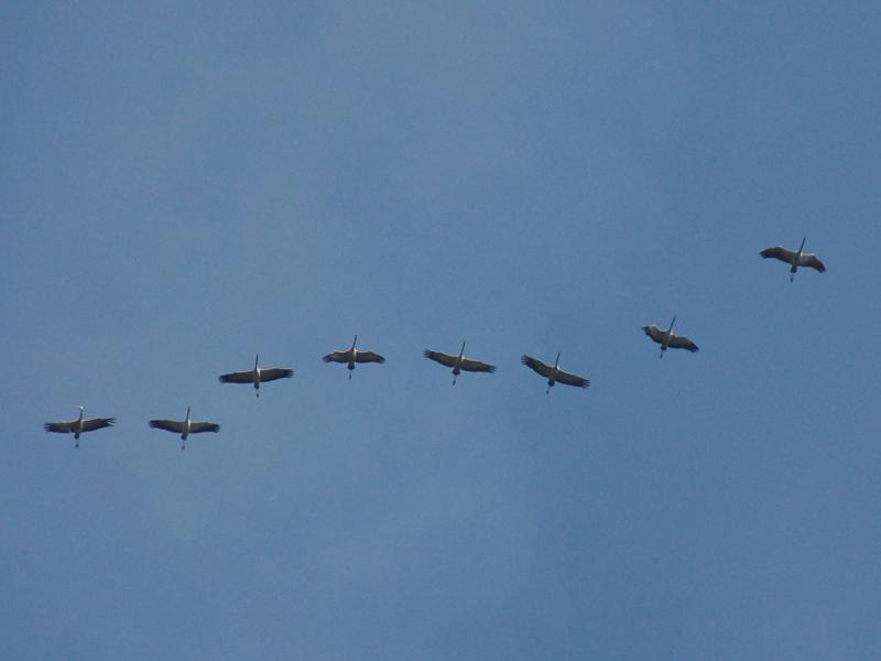 Kraanvogels. Vogelreis Agro Natura