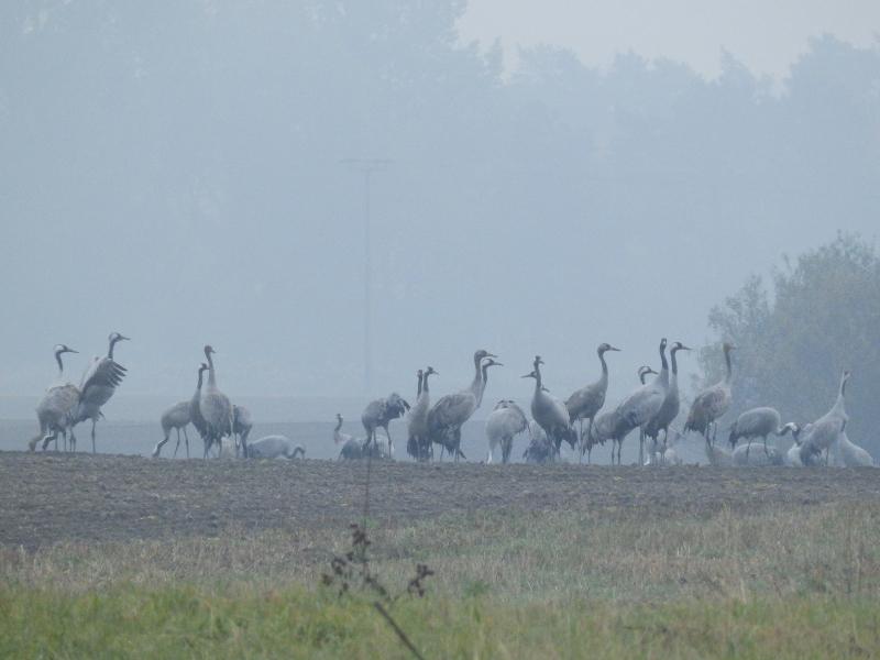 Kraanvogels op een akker bij Rügen. Vogelreis Agro Natura