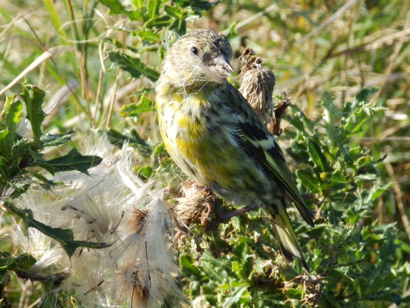 Sijsje bij Falsterbo, Agro Natura vogelreis