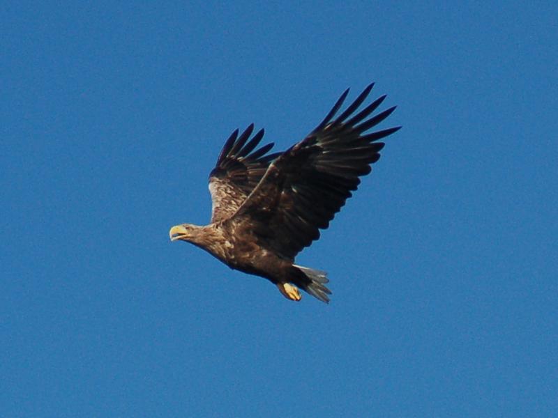 Zeearend Agro Natura vogelreizen Polen, Duitsland, Zweden en meer