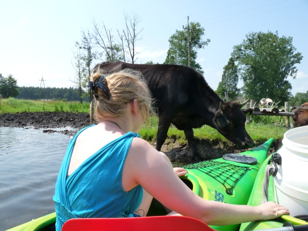 Biebrzamoerassen Koeien bij de kano