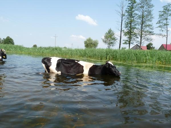Biebrzamoerassen Koe in het water