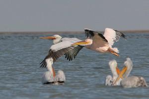 Roemenië special: vogelreis Donaudelta, Vadu en Histria