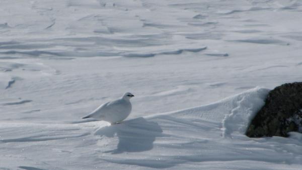 Sneeuwhoen Hardangervidda Noorwegen Agro Natura Sneeuwwandelen
