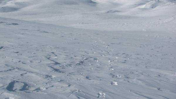 Rendiersporen tijdens sneeuwwandelreis Hardangervidda Noorwegen. Agro Natura