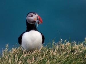 Engeland/Schotland: vogelreis Farne Islands, Bass Rock en Cheviot Hills