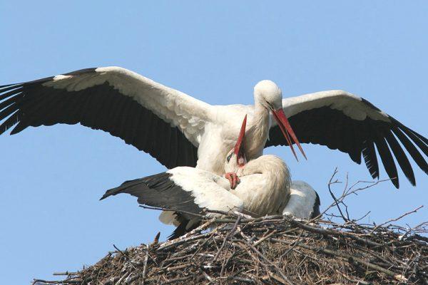 Polen, vogelreis Biebrzamoerassen en oerbos van Bialowieza
