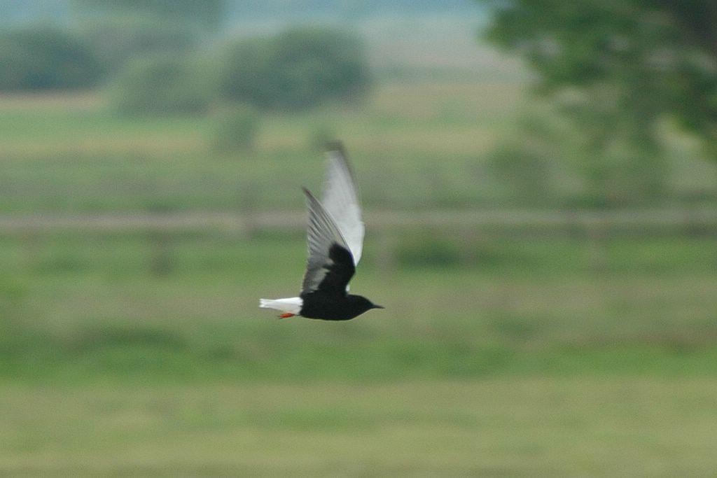 Witvleugelstern Vogelreis Biebrzamoerassen Agro Natura
