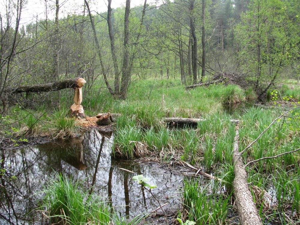 Noordoost Polen, bevervraat in het Suwalki Landschapspark