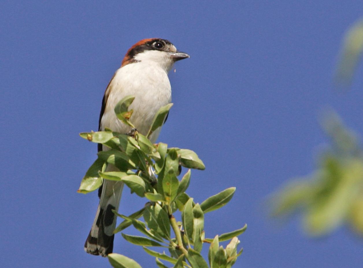 Roodkopklauwier Agro Natura vogelreizen