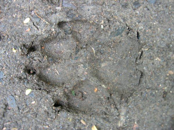 Spoor van een wolf, Noordoost Polen, agronatura.nl