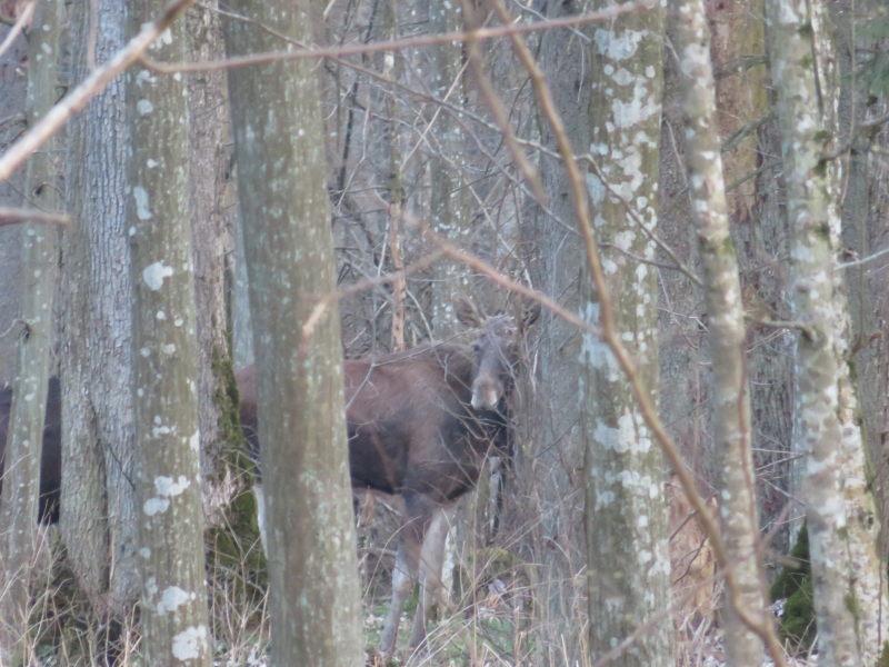 Eland in het bos van Bialowieza