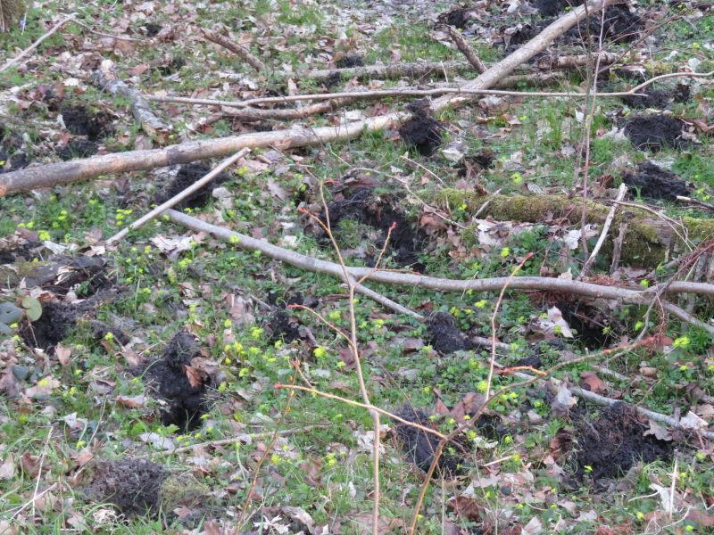 Wisentensporen in zachte grond en Goudveil in Bialowieza