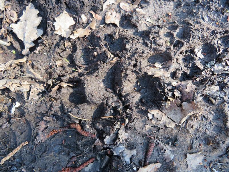 Pootafdruk van een wolf in het Bialowieza Nationaal Park