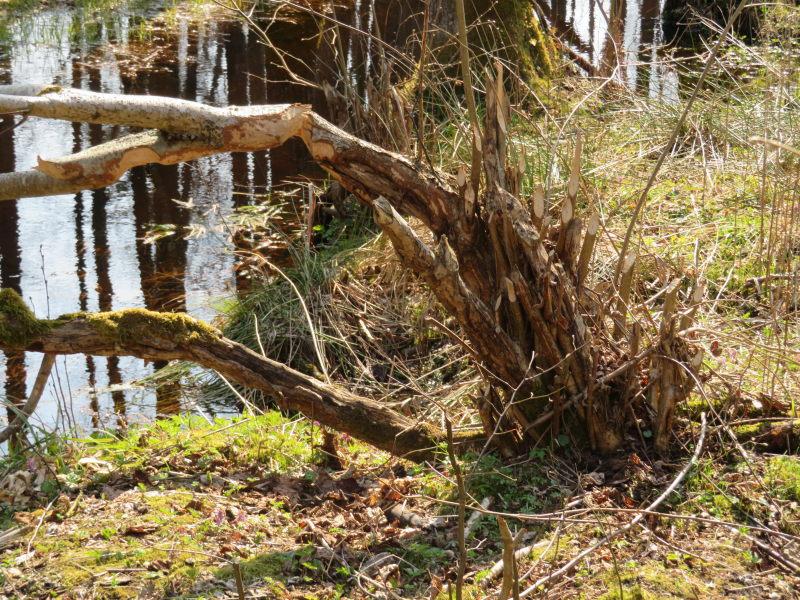 Verse bevervraat in het bosgebied van Bialowieza