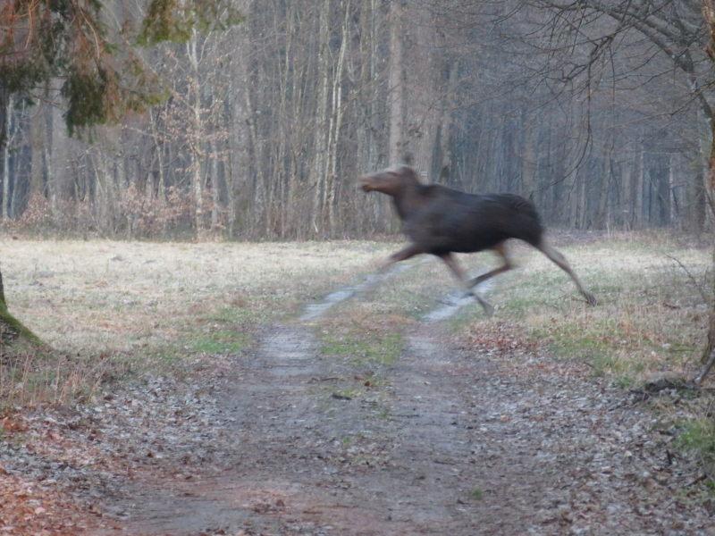 Rennende Eland in het bosgebied van Bialowieza