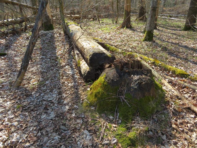 Bevervraat in het bosgebied van Bialowieza