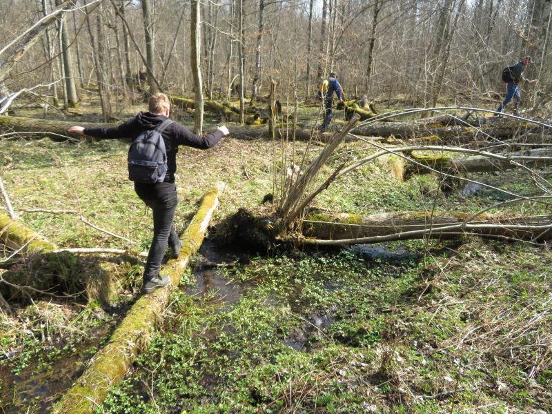 Veel dood hout barrieres in Bialowieza