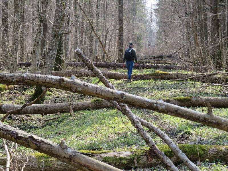 Veel bomen over pad in Bialowieza