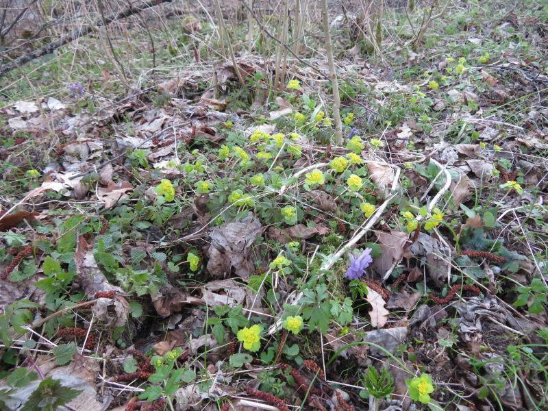 Verspreidbladig Goudveil in het bosgebied van Bialowieza