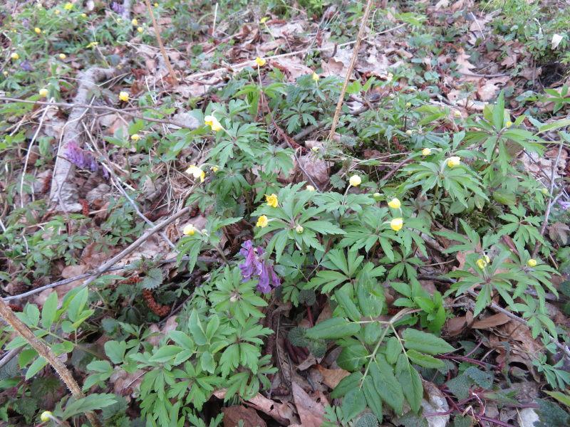 Gele Annemoon in het bosgebied van Bialowieza