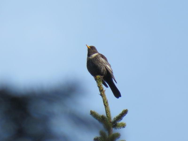 Beflijster in Babia Gora Nationaal Park