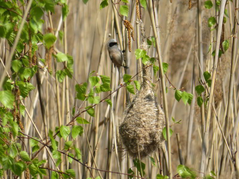 Een buidelmees bij zijn nestje in aanbouw