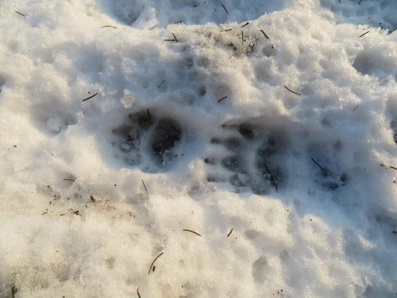 Het spoor van een das in de sneeuw