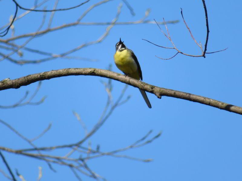 Overal langs de beken zingende Grote Gele Kwikstaarten