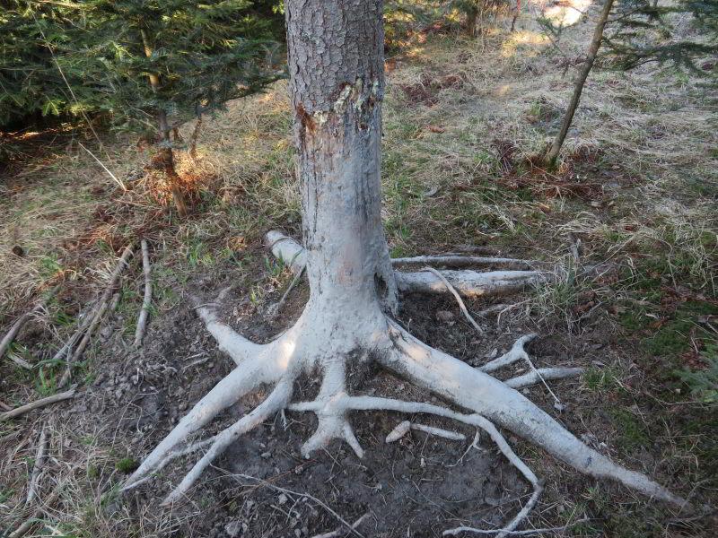 Favoriete schuurplek van een Wildzwijn. De gehele stam zit onder opgedroogde modder. Er lagen ook keutels van de Wolf.