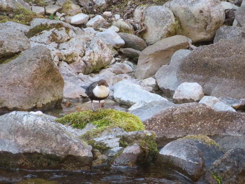 Waterspreeuw in een beek in de Tatra