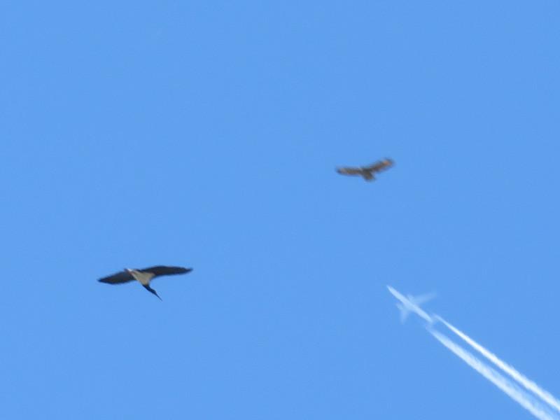 Grappig, 3 vliegers: Zwarte Ooievaar, Buizerd en ...