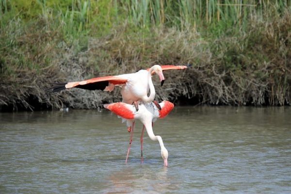 Parende Flamingo's
