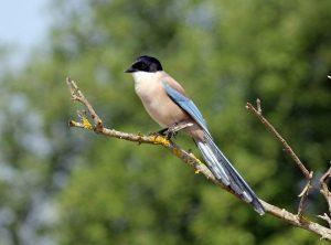 Spanje: vogelreis Extremadura en Gredos