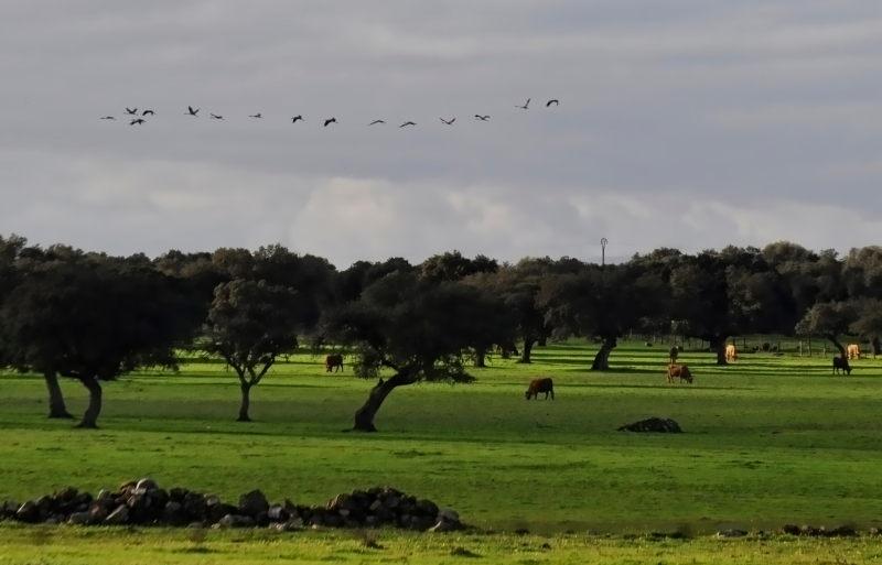 Kraanvogels boven Dehaze, typisch open eikenbos