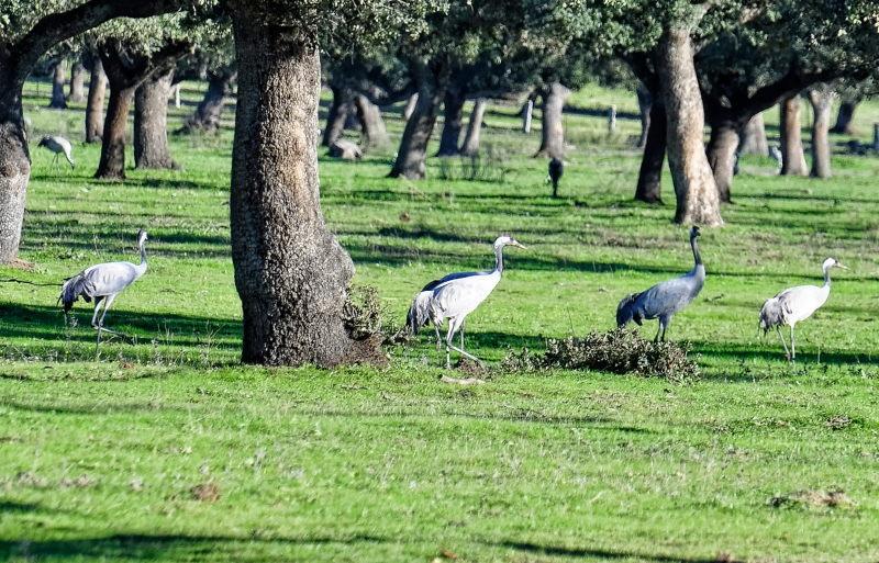 Kraanvogels in Dehaze
