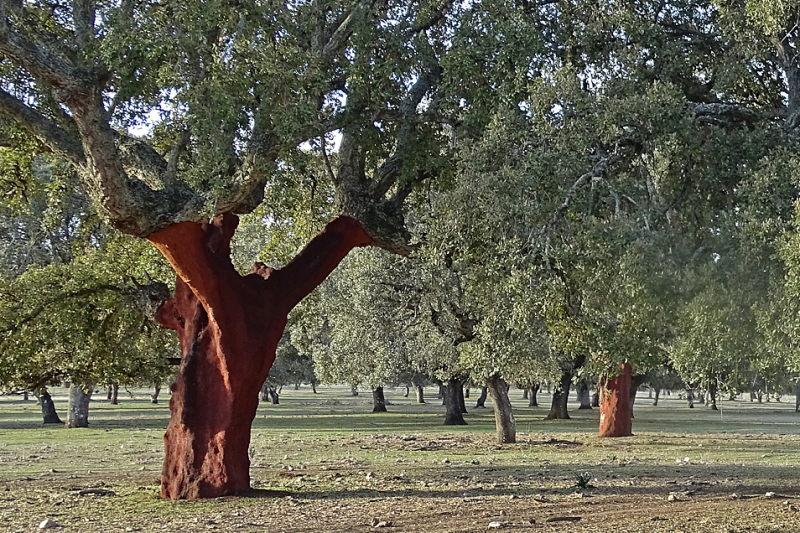 Dehase, het stereotype kurkeikenbos in Extremadura