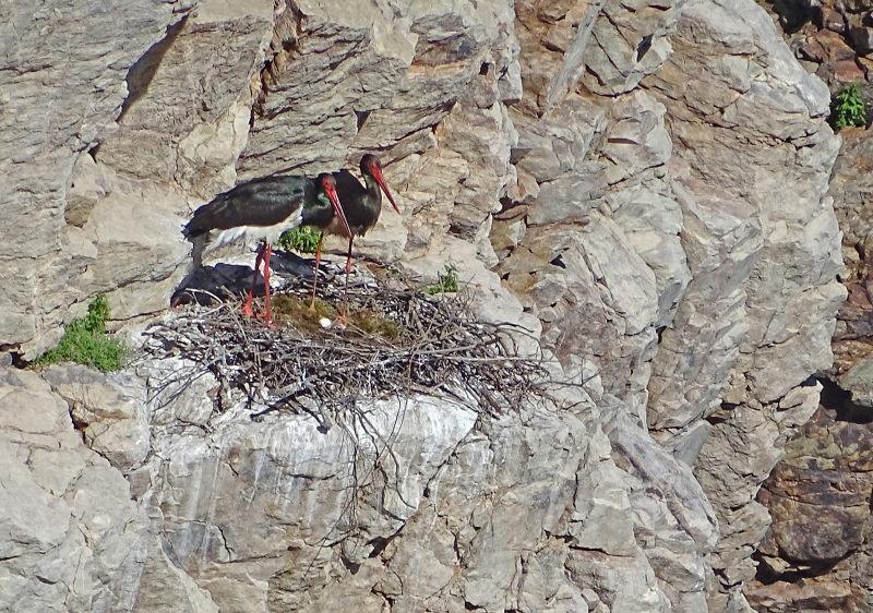 Zwarte Ooievaar nestelt in Monfrague Nationaal Park