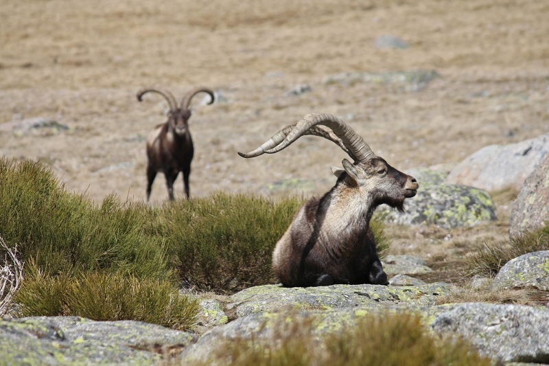 Spaanse Steenbok in de Sierra de Gredos