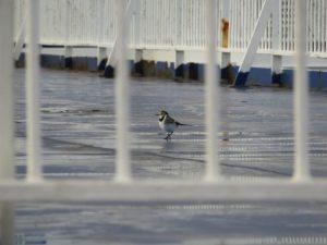 Jonge witte kwikstaart rust uit op dek van ferry
