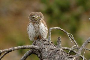 Frankrijk: vogelreis Vercors en Savoie
