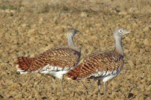 Duitsland/Polen: Grote trap, Zeearenden en Kraanvogels