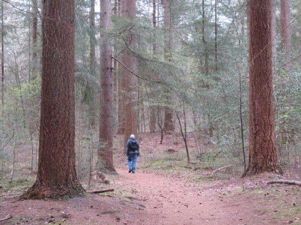 Dikke bomen in het bos bij  Appelscha